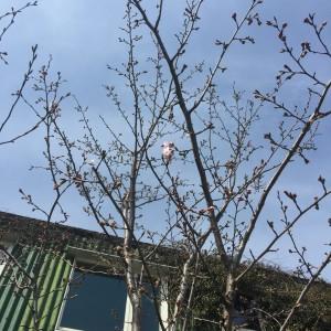 桜31-1