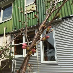 桜30-1